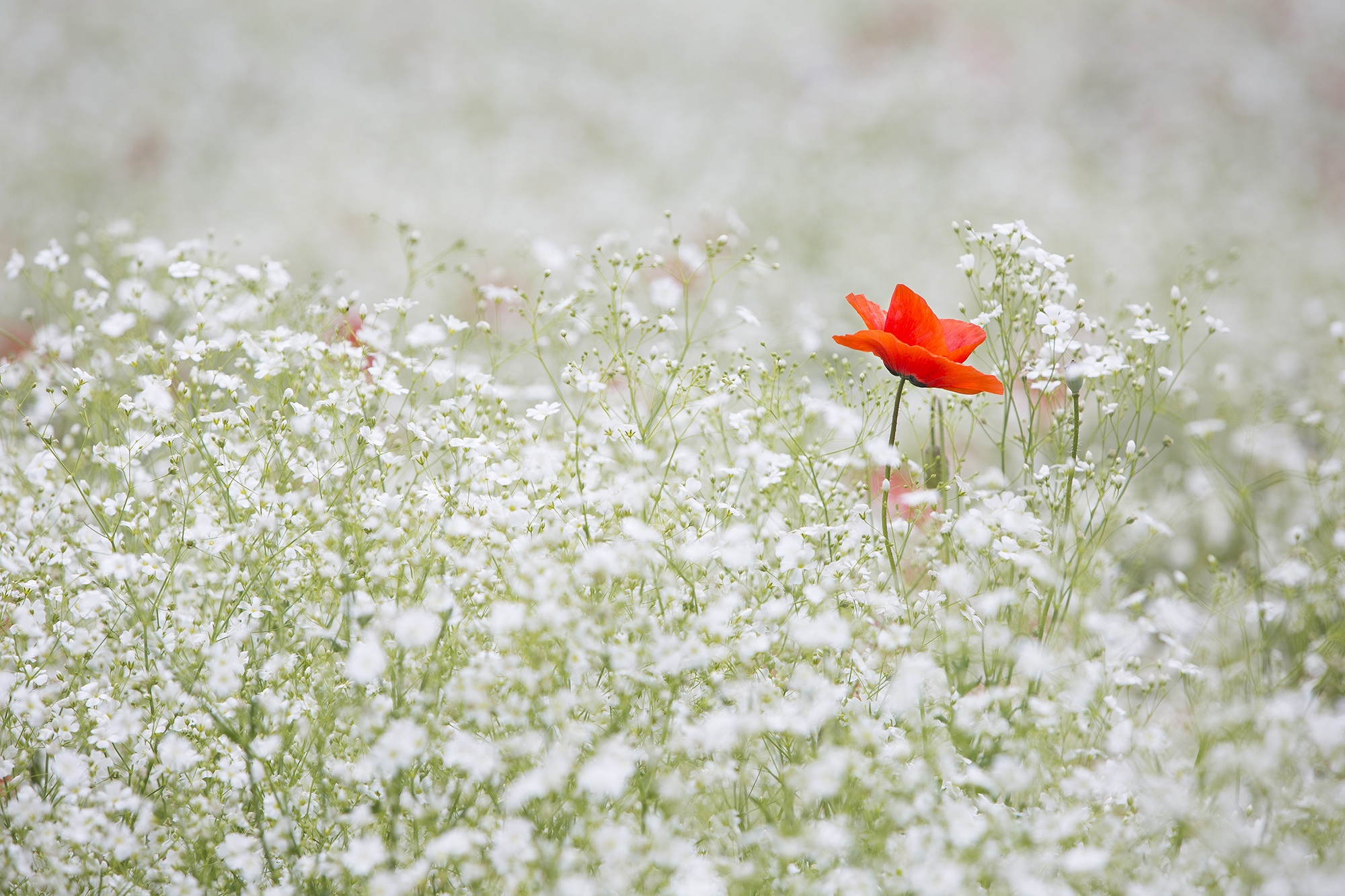 field of white flowers with one red poppy